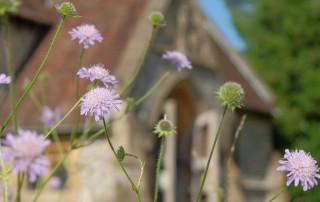 St Nicholas' Child Okeford scabious wild flowers